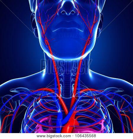 Human Neck Circulatory System