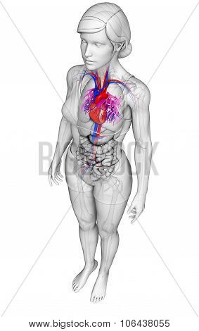 Female Heart Anatomy