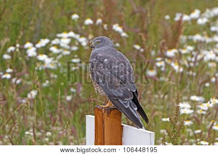 Cinereous Harrier Looking For Prey