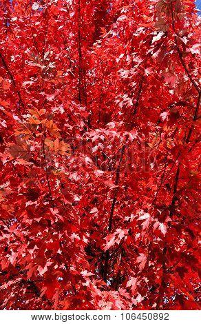 Adirondacks Red Fall Foliage, New York