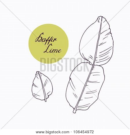 Hand drawn kaffir lime branch with leaves isolated on white