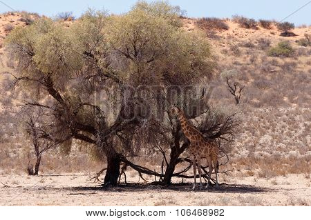 Giraffa Camelopardalis In African Bush