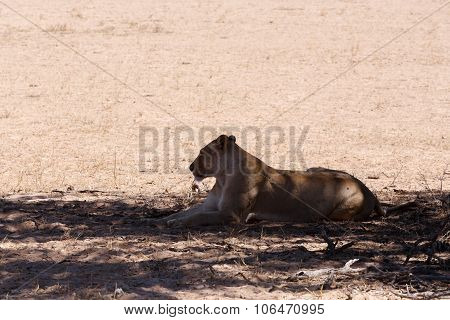 Female Lion Lying In Grass In Shade Of Tree.