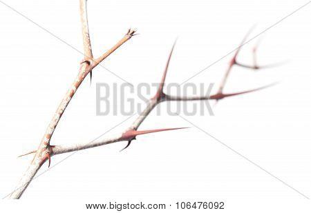 Thorns Zigzag On Zizyphus Twig