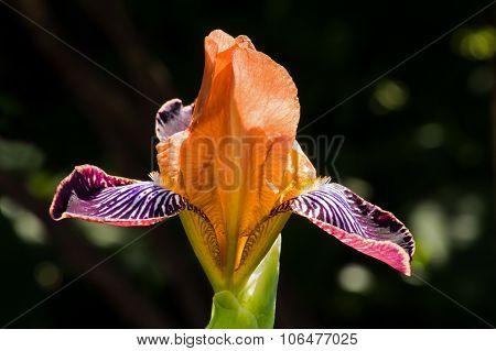 Iris Germanica - Nibelungen