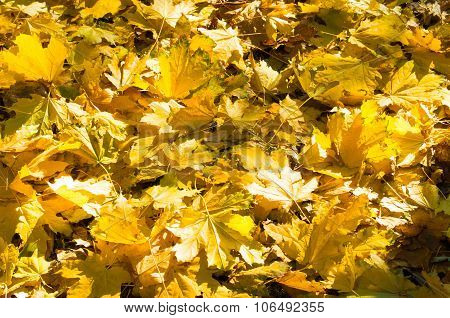 Selective Focus On A Set Of Yellow Autumn Fallen Maple Leaves