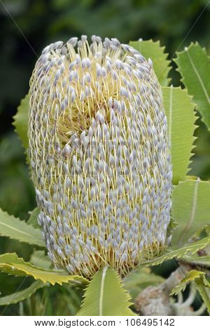 Newnes Plateau Banksia