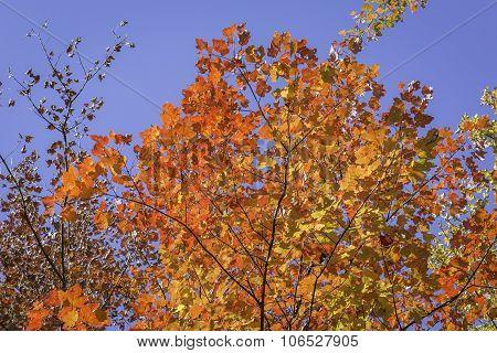 Sugar Maple Tree In Autumn - Ontario, Canada