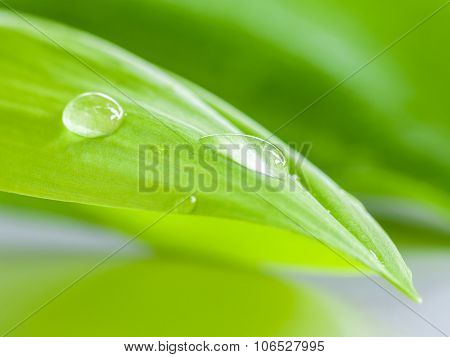Closeup Water Drop On Pandanus Palm , Fragrant Pandan ,pandom Wangi.