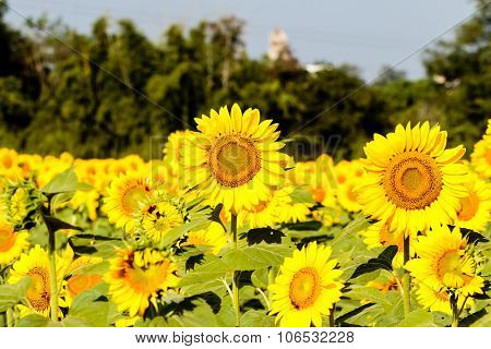 Beautiful sunflower captured on a sunny day