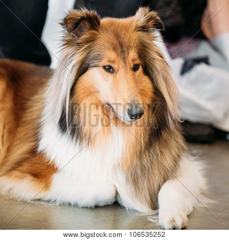 The Shetland Sheepdog, Sheltie, Collie, is a breed of herding dog. They are vocal, excitable, energetic dogs who are always willing to please and work hard. poster