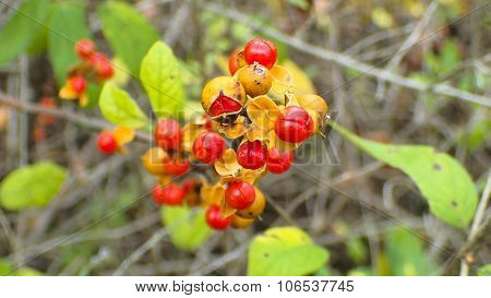 Bittersweet. Solanum dulcamara. Red Berries.
