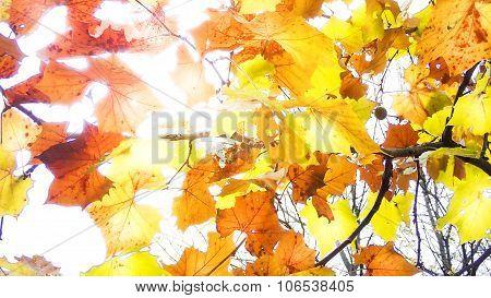 Fall or Autumn Sumac Leaves. Glowing Light.
