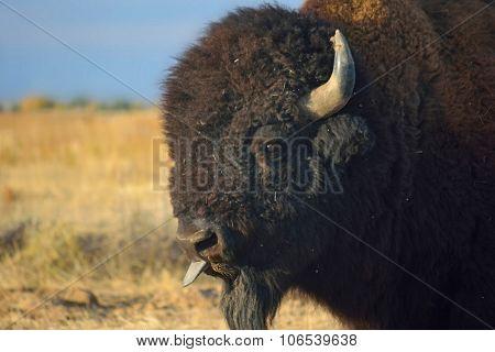 American Bison Buffalo Sticks Out Tongue