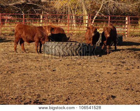 Cattle in a feed Lot