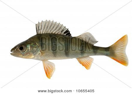 Perch a predatory and gluttonous fish. Big danger to peace fishes. poster