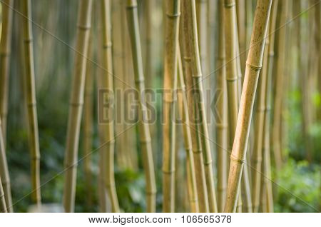 bamboo stems closeup Bambusoideae perennial evergreen plants in the grass family Poaceae. poster