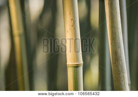 Bamboo Stems Closeup