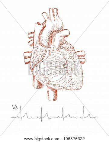 Heart Anatomy And Human Electrocardiogram As A Sketch