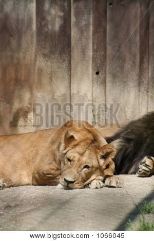 Lions 53