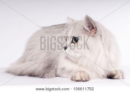 Scottish straight cat