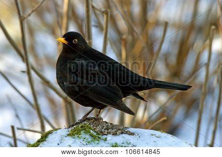 Blackbird On The Rock