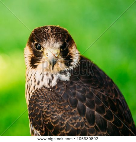 The peregrine falcon on green grass background