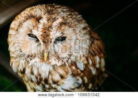 The small tawny owl. Wild bird. Close up head, face.