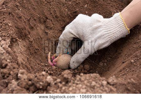 Hand Planting Potato Into The Ground