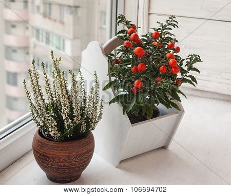 Heather And Nightshade (solanum Pseudocapsicum) On The Windowsill