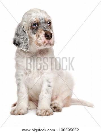 Cute Sitting Tricolor English Setter Puppy Dog
