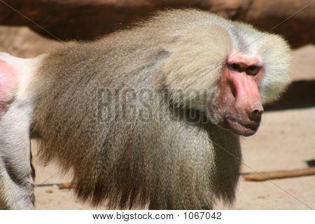 Baboon 109