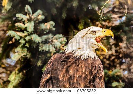 Bald Eagle Screeches In Warning