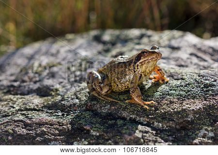 Common Frog (Rana temporaria) also known as the European common frog, European common brown frog, or European grass frog, sitting on a stone a sunny day poster