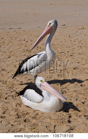 Pelicans on the Moore River Mouth Sandbar, Western Australia