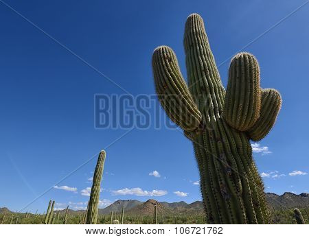 close up of saguaro cactus in arizona desert with mountains in background