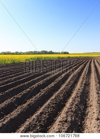 Agricultural field on which grow potatoes. furrow poster