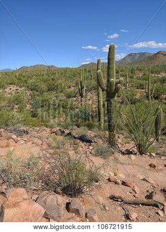 landscape of cacti in arid desert in the southwestern united states