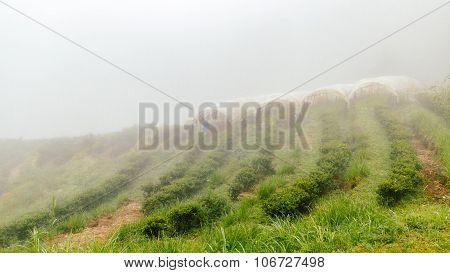 Tea Farm With Misty Fog In Thailand