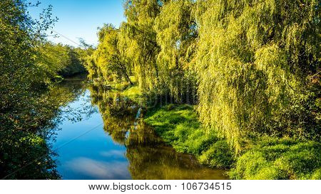 Weeping Willows along the Salmon River