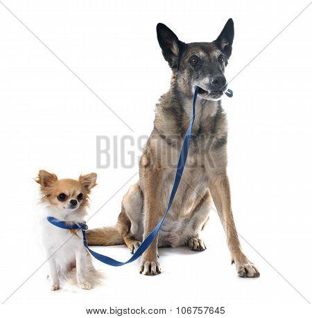 Belgian Shepherd Dog And Chihuahua