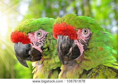 Military macaw (Ara militaris mexicana)