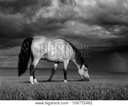 The dapple-grey horse on a meadow before a thunder-storm. Black-and-white photo.