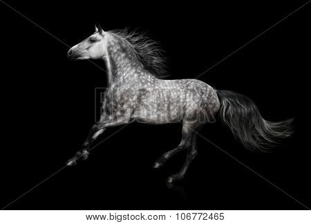 The grey stallion of the Andalusian breed gallops on black background
