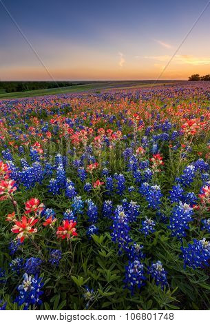 Texas Wildflower -  Bluebonnet And Indian Paintbrush Field In Sunset