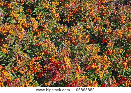 Branch with the red berries of wild ash poster