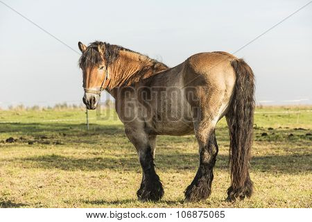 Heavy Draft Horse Eating It's Grass