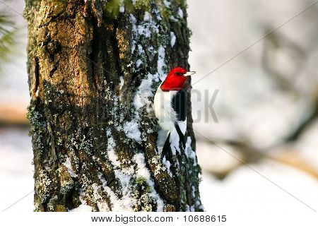Red Headed Woodpecker Clinging To Tree In Snow
