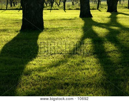 Shadows cast across grass from Texas pecans in the late afternoon sun. poster