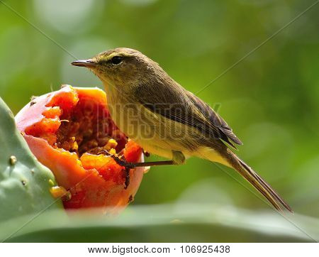 Wild bird phylloscopus canariensis on prickly pear, to eat delicious fresh fruit, Canary islands poster